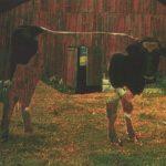 Betty's Barn Cow